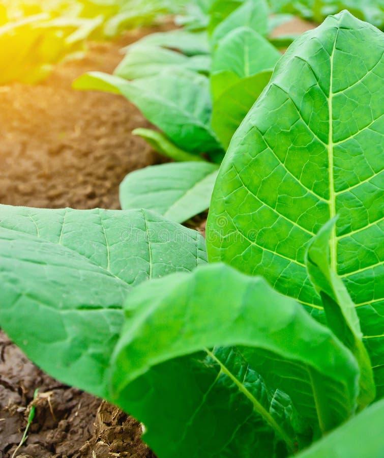 Зеленое поле табака с световым эффектом солнца, аграрной концепцией стоковые фото