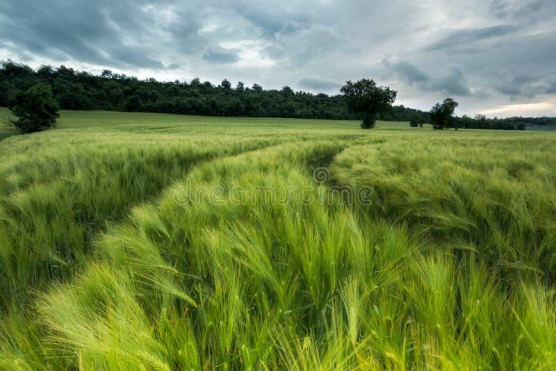 Зеленое поле хлопьев пшеницы стоковое изображение rf