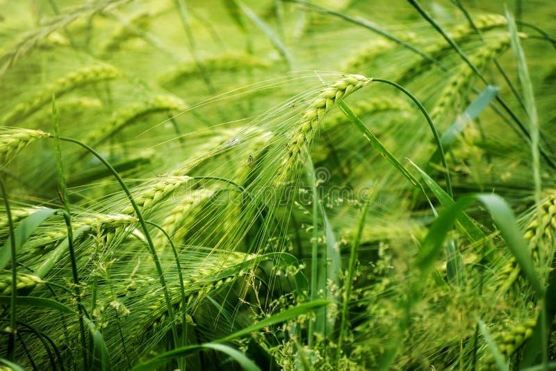 Зеленое поле ячменя, абстрактная концепция предпосылки природы для agric стоковые фотографии rf