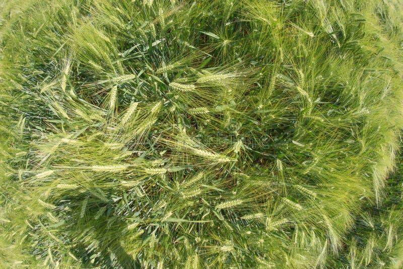 Зеленое поле ячменя сверху стоковые изображения rf