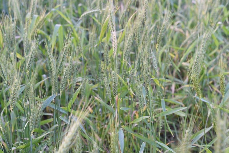 Зеленое пшеничное поле в индийской ферме стоковые изображения rf