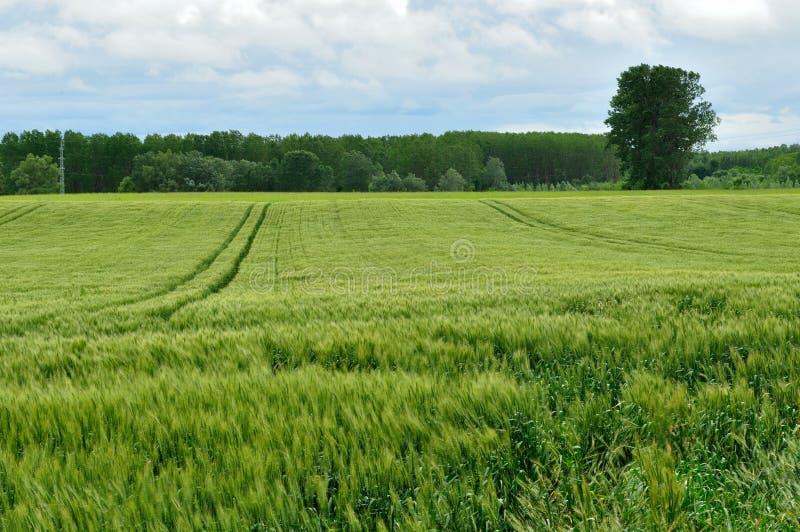 Зеленое пшеничное поле стоковое фото