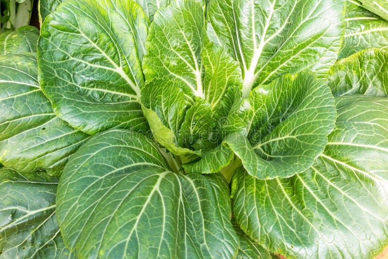Зеленое растущее овощей стоковые изображения rf