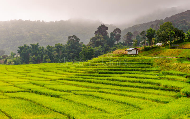 Зеленое террасное поле риса в Chiangmai, Таиланде стоковая фотография rf
