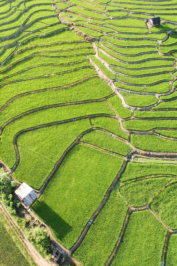 Зеленое террасное поле риса в Chiangmai стоковое фото