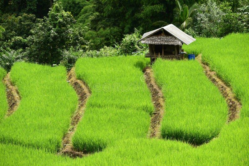 Зеленое террасное поле риса в Chiangmai стоковые фото