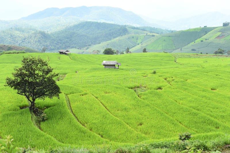 Зеленое террасное поле риса в Chiangmai стоковые изображения