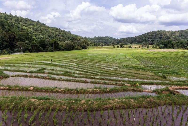 Зеленое террасное поле риса в Mae Klang Luang, chiangmai Таиланде стоковые фотографии rf