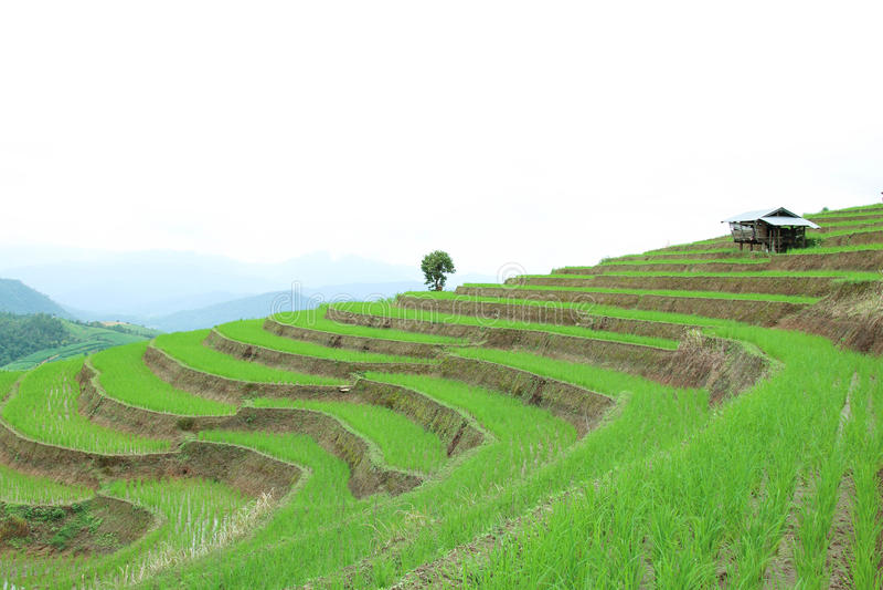 Зеленое террасное поле риса на деревне piang кальяна PA, Chiangmai, Таиланде стоковые изображения rf