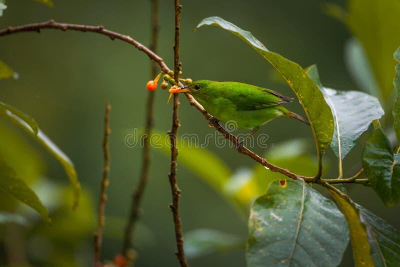 Зеленое Honeycreeper, женское стоковое фото rf