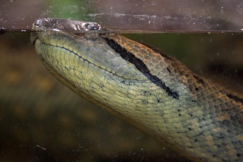 Зеленое murinus Eunectes anaconda стоковое изображение