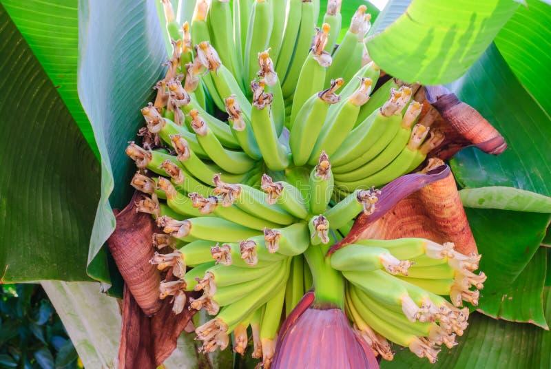 Зеленые банановые дерева и плодоовощи стоковое фото