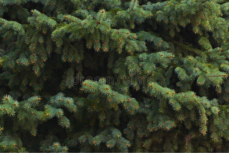 зеленые ветви ели, предпосылка стоковое изображение rf