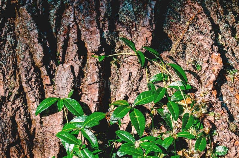 Зеленые ветви куста на коре дерева стоковые изображения rf