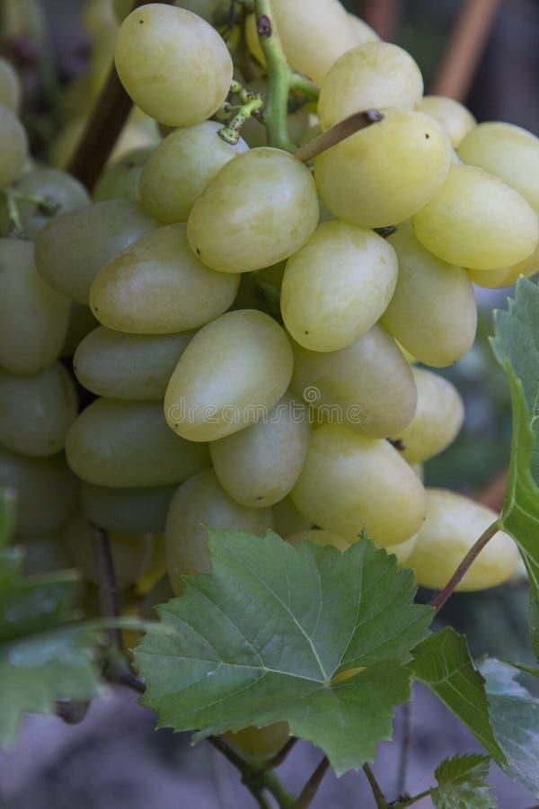 Зеленые виноградины растутся в стране стоковые изображения