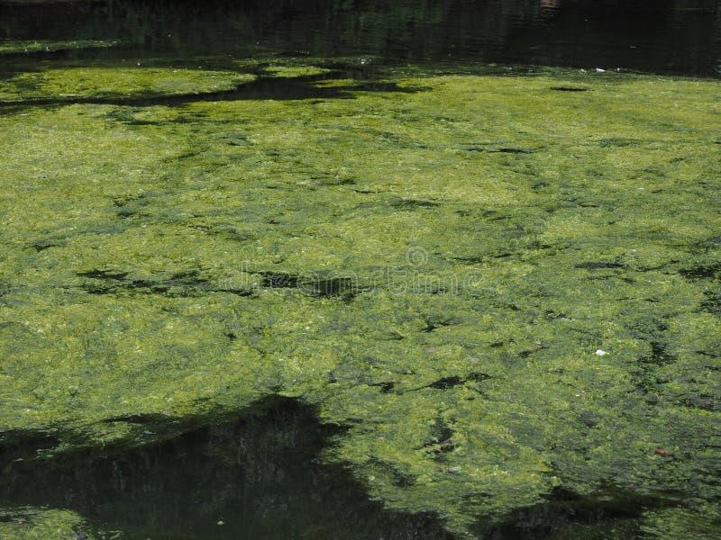зеленые водоросли в пруде стоковые изображения