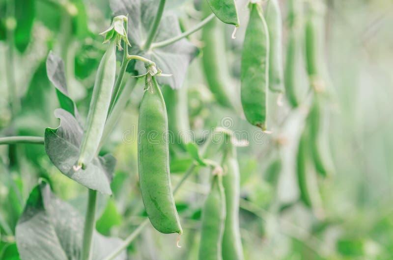 Зеленые горохи растя в саде стоковое изображение rf