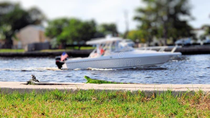 Зеленые игуаны приближают к воде стоковые фотографии rf