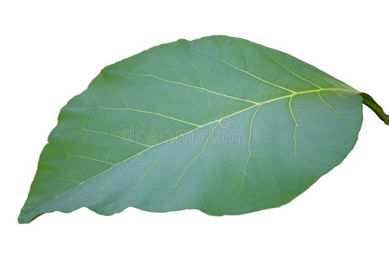 Download Зеленые изолированные лист Teak Стоковое Фото - изображение насчитывающей closeup, вырастите: 81807822