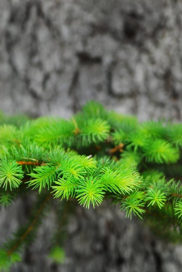 Зеленые лимб и хобот сосны роста стоковое изображение rf