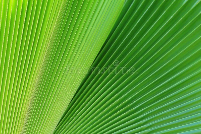 Зеленые листья ладони в природе стоковая фотография rf