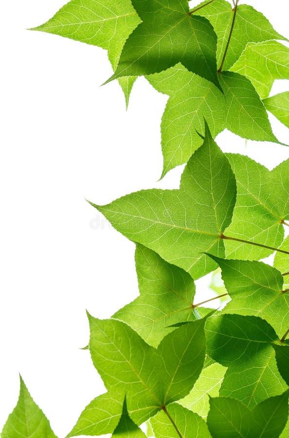 Зеленые листья дерева на белой предпосылке стоковые изображения rf