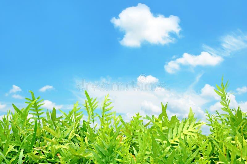 Зеленые листья папоротника на предпосылке голубого неба стоковые фотографии rf