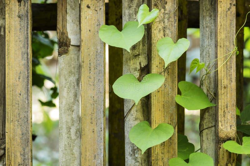 зеленые листья сердца стоковые изображения rf