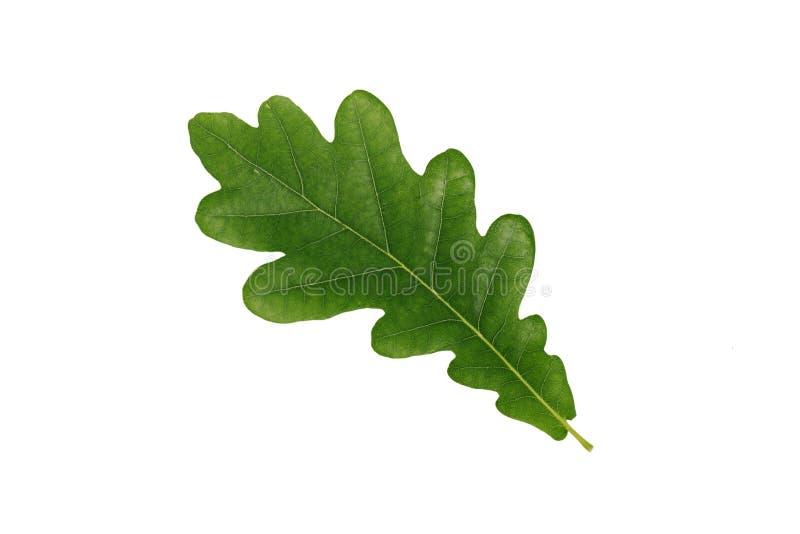 Зеленые листья дуба изолированные на белой предпосылке стоковые изображения