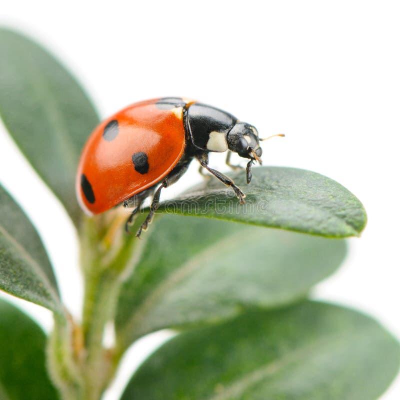 зеленые листья ladybird стоковое фото rf