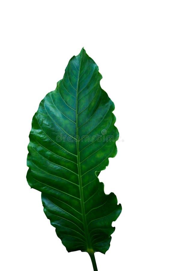Зеленые лист гибрида антуриума или антуриума гнезда ` s птицы trop стоковое фото