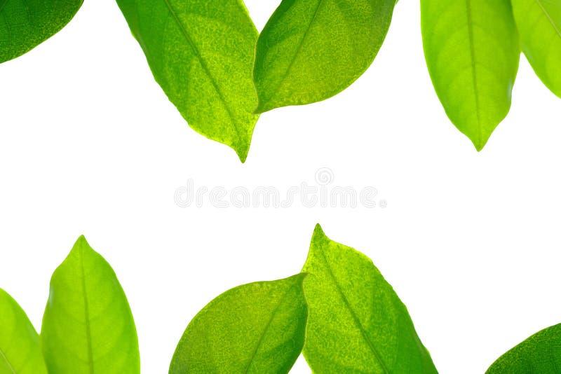 Зеленые лист на белой предпосылке, рамке стоковые фото