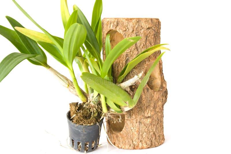 Зеленые лист орхидеи стоковая фотография