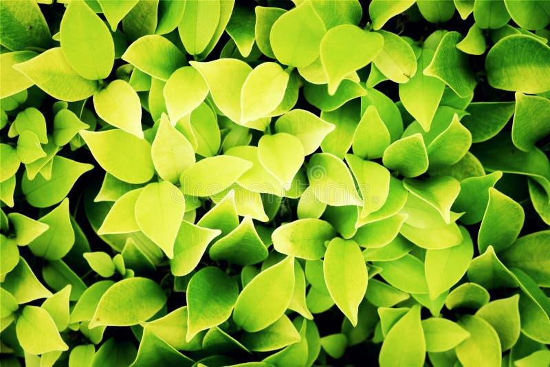 Зеленые и желтые листья предпосылка, процесс с фильтром стоковая фотография rf