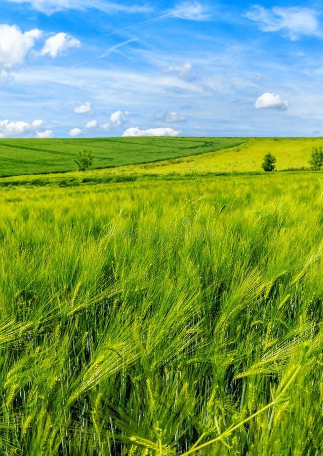 Зеленые и золотые поля ячменя в лете стоковое изображение