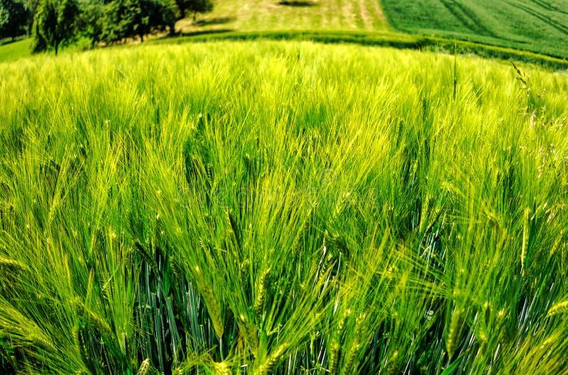 Зеленые и золотые поля ячменя в лете стоковая фотография