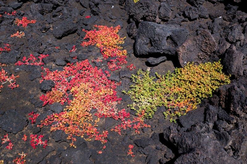 Зеленые и красные суккулентные заводы растя в утесах лавы в национальном парке Лансароте, Канарских островов Испании стоковые фотографии rf