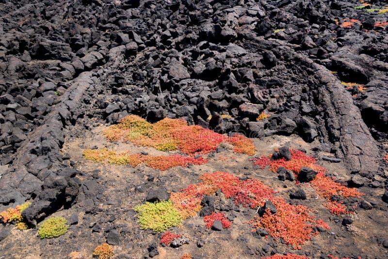 Зеленые и красные суккулентные заводы растя в утесах лавы в национальном парке Лансароте, Канарских островов Испании стоковое изображение