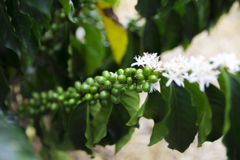 Зеленые кофейные зерна на ветви стоковое изображение