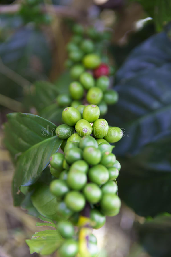 Зеленые кофейные зерна на ветви стоковое фото rf