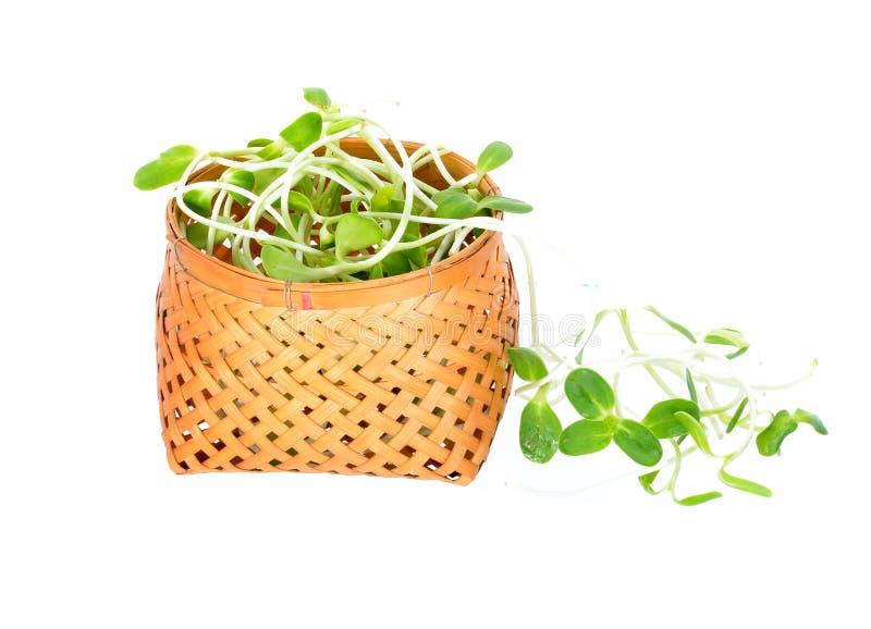 Зеленые молодые изолированные ростки солнцецвета стоковое фото