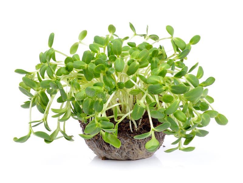 Зеленые молодые ростки солнцецвета стоковые фото