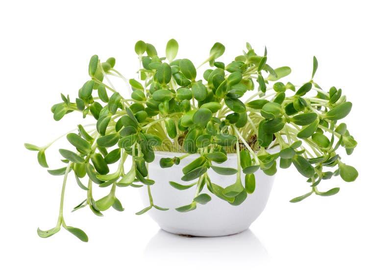 Зеленые молодые ростки солнцецвета стоковые фотографии rf
