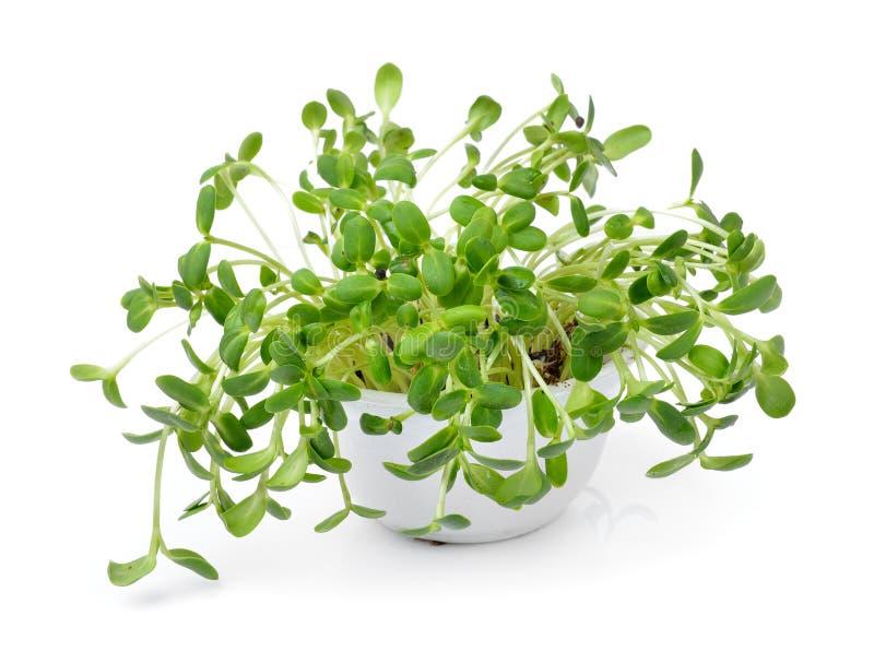 Зеленые молодые ростки солнцецвета стоковые изображения