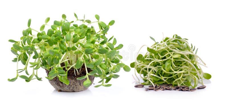 Зеленые молодые ростки солнцецвета стоковое изображение rf