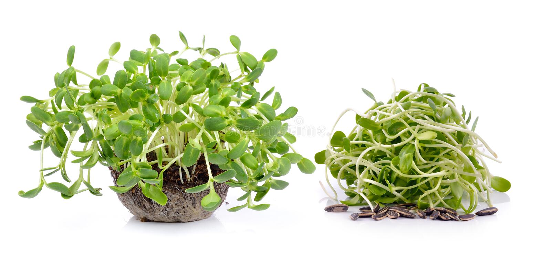 Зеленые молодые ростки солнцецвета стоковая фотография rf