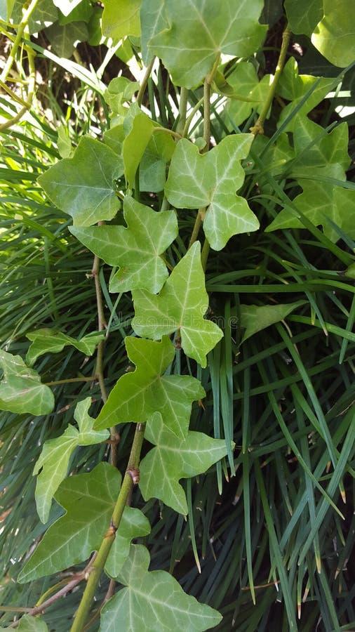зеленые лозы стоковое фото