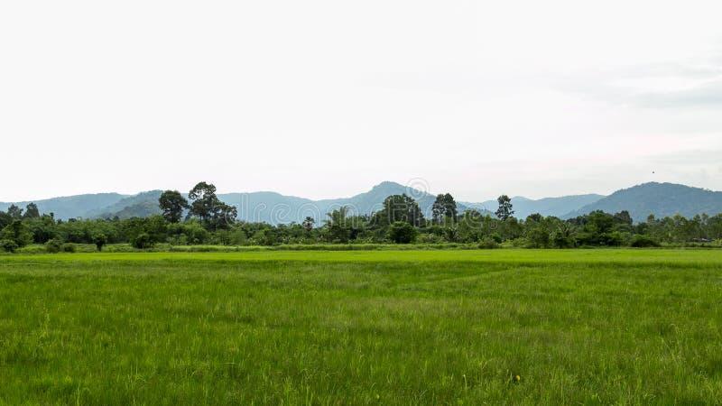 Зеленые поле риса и предпосылка горы стоковые фотографии rf