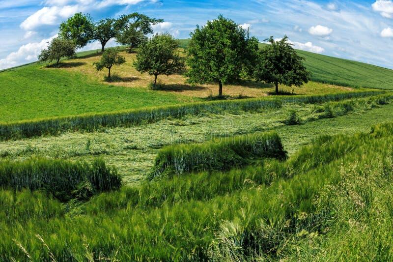 Зеленые поля и яблони в лете стоковое изображение