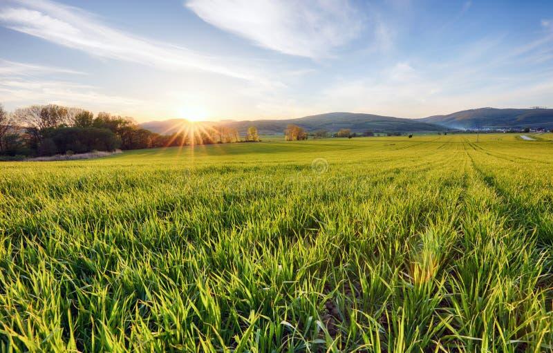 Зеленые поля молодой пшеницы на весне стоковые изображения